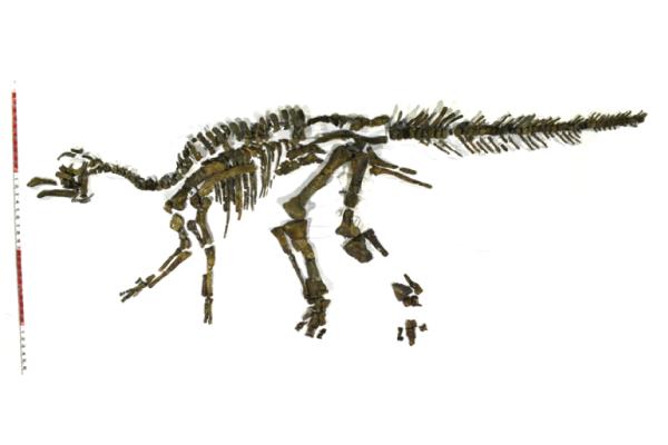 カ ムイサウルスの復元画 Ⓒむかわ町穂別博物館
