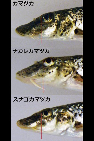 ひげの長さの違いがカマツカと他の2種を区別する特徴の一つ!