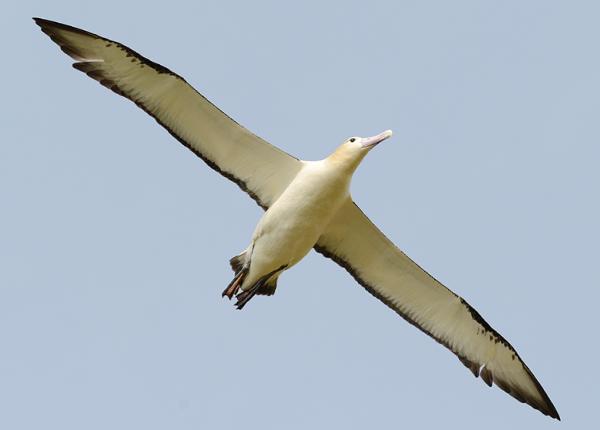 風に乗って優雅に飛ぶオキノタユウ