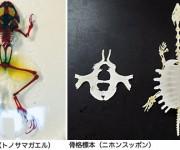 2種類の骨格標本作成法に関する考察(甲南高等学校 生物研究部)