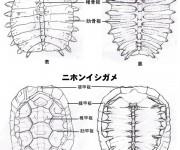 スッポンとニホンイシガメの骨格構造の比較(大阪府立富田林高等学校 科学部 解剖班)
